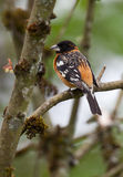Varón de cabeza negra del pájaro Fotografía de archivo