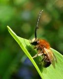 Varón de cuernos largo de la abeja Imagenes de archivo