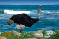 Varón de la avestruz (camelus del Struthio) Imagen de archivo libre de regalías