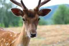 Varón de los ciervos en barbecho Foto de archivo libre de regalías