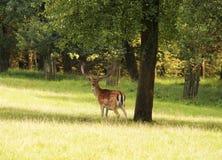 Varón de los ciervos en barbecho Fotografía de archivo