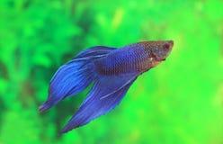 Varón de los splendens de Betta del color azul Fotos de archivo