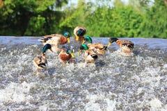 Varón de patos salvajes, lat Platyrhynchos de las anecdotarios Foto de archivo