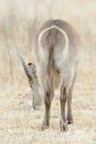 Varón de Waterbuck detrás Foto de archivo libre de regalías