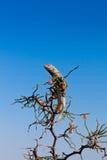 Varón del Agama de la estepa en descanso Foto de archivo libre de regalías