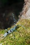 Varón del alpina de Rosalia (L.) (coleóptero, Cerambycidae) Foto de archivo