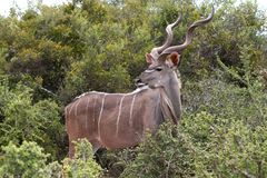 Varón del antílope de Kudu Imagen de archivo libre de regalías