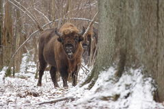 Varón del bisonte europeo Fotos de archivo