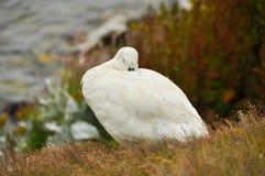 Varón del blanco de Falkland Island Kelp Goose Fotos de archivo