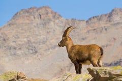 Varón del cabra montés con el fondo de la alta montaña Imagenes de archivo