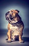 Varón del dogo inglés Imagen de archivo libre de regalías