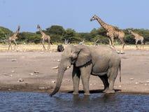 Varón del elefante africano, Loxodonta a africana, en el waterhole, parque nacional de Etosha, Namibia imagenes de archivo