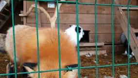 Varón del Fox rojo común y del zorro plata-negro femenino metrajes