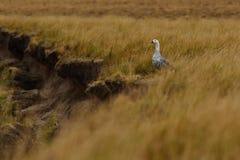 Varón del ganso de la altiplanicie Foto de archivo libre de regalías
