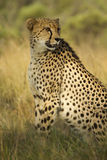 Varón del guepardo Fotografía de archivo