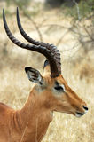 Varón del impala Foto de archivo