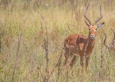 Varón del impala en el parque nacional de Kruger imagen de archivo libre de regalías