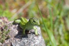 Varón del lagarto de arena (agilis del Lacerta) Foto de archivo libre de regalías