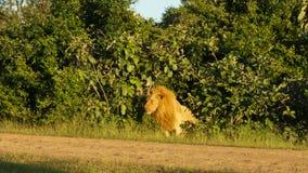 Varón del león en el arbusto imagen de archivo libre de regalías