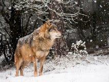 Varón del lobo en la nieve Imágenes de archivo libres de regalías