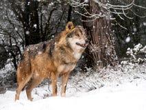 Varón del lobo en la nieve Fotografía de archivo libre de regalías