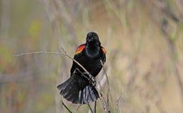 Varón del mirlo de alas rojas Imagen de archivo libre de regalías