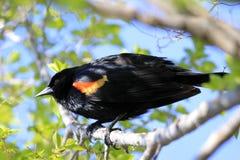 Varón del mirlo de alas rojas Foto de archivo