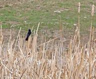 Varón del mirlo de alas rojas en Cattails Foto de archivo
