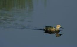 Varón del pato cuchara del cabo Fotografía de archivo