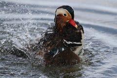 Varón del pato de mandarín Foto de archivo