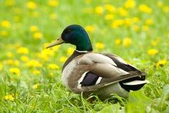 Varón del pato silvestre Imágenes de archivo libres de regalías