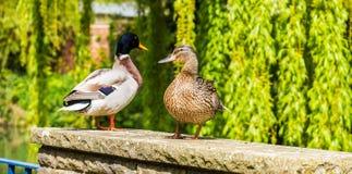 Varón del pato silvestre y pato femenino fotografía de archivo libre de regalías