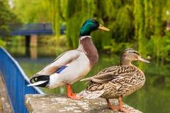 Varón del pato silvestre y pato femenino fotografía de archivo