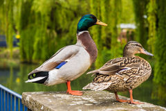 Varón del pato silvestre y pato femenino fotos de archivo