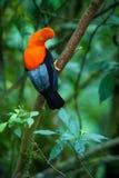 Varón del peruvianus andino del Rupicola de la Gallo-de--roca lekking y dyplaing delante de las hembras, comportamiento de acopla foto de archivo libre de regalías