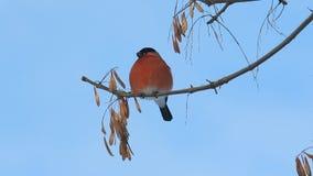 Varón del pyrrhula del Pyrrhula del piñonero que se sienta en una rama y que come la semilla del arce metrajes