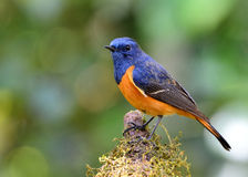 Varón del redstart Azul-afrontado (frontalis del Phoenicurus) el colorf Fotos de archivo