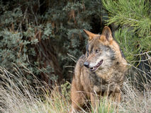 Varón del signatus ibérico del lupus de Canis del lobo Foto de archivo libre de regalías