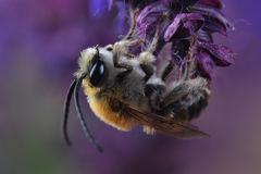 Varón del SP de Eucera de la abeja en las flores Imagenes de archivo