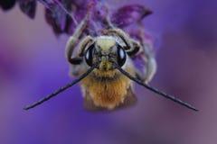 Varón del SP de Eucera de la abeja en las flores Foto de archivo