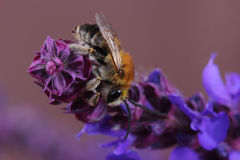 Varón del SP de Eucera de la abeja en las flores Imágenes de archivo libres de regalías