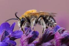 Varón del SP de Eucera de la abeja en las flores Imagen de archivo