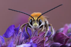 Varón del SP de Eucera de la abeja en las flores Fotografía de archivo libre de regalías