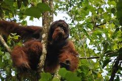 Varón dominante del orang utan Foto de archivo libre de regalías