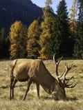 Varón dominante salvaje, adulto de los ciervos comunes del elaphus del Cervus Imagenes de archivo