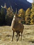 Varón dominante salvaje, adulto de los ciervos comunes del elaphus del Cervus Foto de archivo