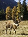 Varón dominante salvaje, adulto de los ciervos comunes del elaphus del Cervus Fotografía de archivo