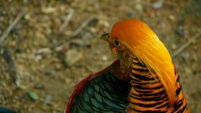 Varón elegante magnífico del faisán de oro rojo chino, Chrysolophus Pictus al aire libre pájaro exótico salvaje en naturaleza rea almacen de metraje de vídeo