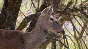Varón europeo de los ciervos de huevas en el ¼ e, España de Monfragà de la reserva de naturaleza almacen de video