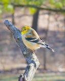 Varón, Goldfinch Fotos de archivo libres de regalías